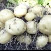 Біологічні особливості та умови вирощування картоплі