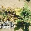Хвороби баклажанів, непаразитарні захворювання і поширені шкідники