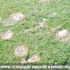 Хвороби газону: снігова пліснява, борошниста роса, іржа і червона нитка