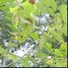 Хвороби і шкідники дерева волоського горіха