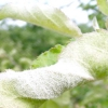 Хвороби і шкідники груші