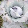 Хвороби капусти білокачанної: альтернаріоз або чорна плямистість