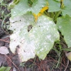 Хвороби рослин: борошниста роса і пероноспороз