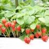 Хвороби суниці садової (полуниці)