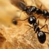 Боротьба з мурашками на садовій ділянці, дачі