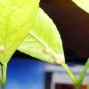 Боротьба з шкідниками кімнатного домашнього лимона