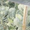 Брюссельська капуста: вирощування і зберігання