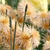 Бронзові хризантеми осіннього балу Нікітського ботанічного саду