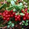 Брусниця на садовій ділянці, розмноження і висадка