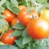 Чого не вистачає томатам?