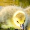 Чим годувати гусей - докладне керівництво і поради досвідчених фермерів