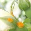 Чим може хворіти троянда, і як запобігти можливі хвороби?