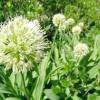 Черемша / allium ursinum, allium victorialis