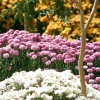 Живцювання хризантем