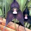 Чорна орхідея з міфу