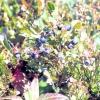 Чорниця: посадка, вирощування і догляд