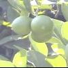 Що таке дерево і фрукт лайм