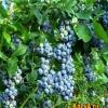 Що таке лохина, види лохини, вирощування лохини