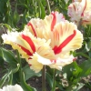 Чудове перевтілення тюльпана flaming parrot