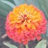 Майорця прикрасять будь-який квітник!