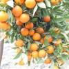 Цитрусове дерево грейпфрут