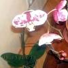 Цвітіння фаленопсиса
