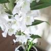 Квітки і бутони орхідеї