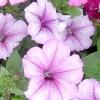 Квітник з петунії - вирощування розсади та посів насінням
