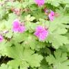 Квіткові багаторічники для тінистого квітника