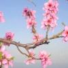 Квітучий мигдаль: фото гілок і квітів