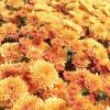 Цвітуть хризантеми