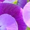 Квіти фіалки і їх селекція в докладному розгляді
