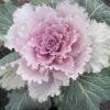 Квіти на снігу. декоративна капуста.