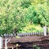 Даруємо садові дерева мамам