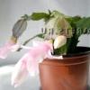 Декабрист квітка
