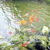Декоративні риби для штучного ставка і водойми
