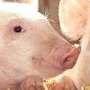 Робимо своїми руками годівниці для свиней, ніпельні поїлки та інші складові комфортного і здорового життя порося