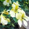 Делікатесне рослина - настурція