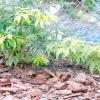 Дерева і чагарники, що утворюють кореневу поросль