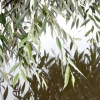 Дерева з плакучою формою крони в ландшафтному дизайні саду