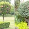 Дерева з кулястою кроною в ландшафтному дизайні саду
