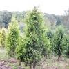 Дерева з вертикальними кронами в ландшафтному дизайні саду