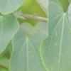 Дерево японський багряник