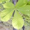 Дерево каштан кінський
