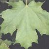 Дерево клен канадський або цукровий