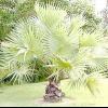 Дерево пальміровая пальма