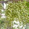 Дерево Рамбан і його ягоди