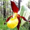 Дика орхідея