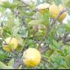 Дикий лимон