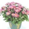 Домашні хризантеми